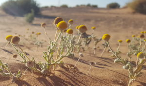 plantas botones amarillos desierto marruecos en colores unik maroc tours